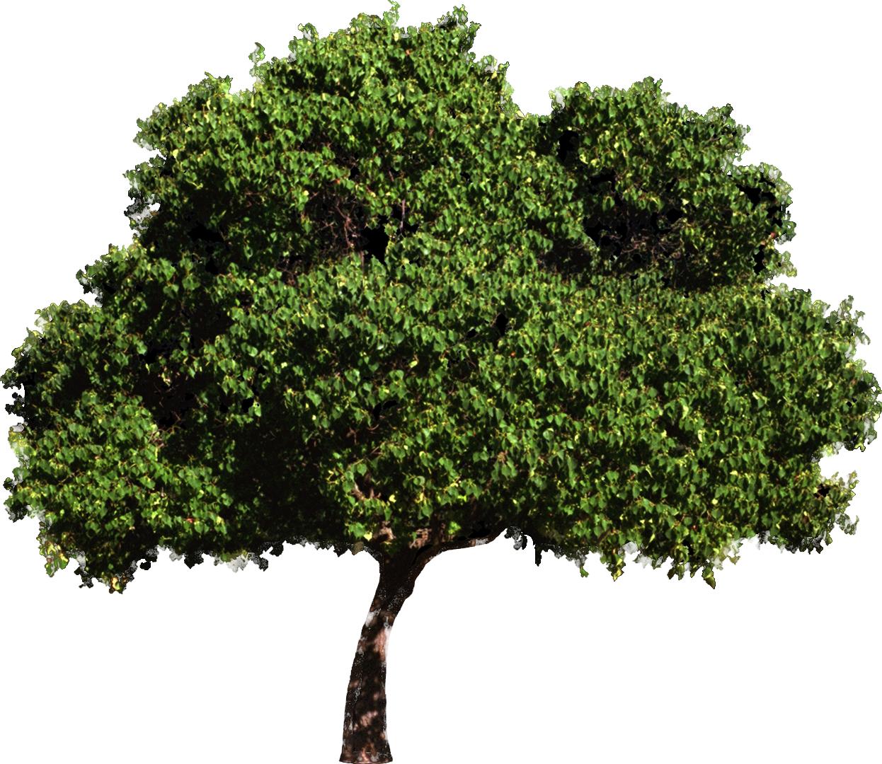 раскидистое дерево картинки без фона восточной лаковой живописи